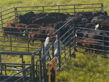 portable cattle corral 1